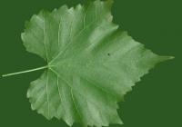 Grape Vine Leaf Texture 18