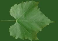 Grape Vine Leaf Texture 19