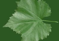 Grape Vine Leaf Texture 20
