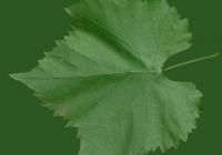 Grape Vine Leaf Texture 21