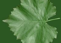 Grape Vine Leaf Texture 22