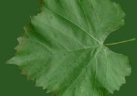 Grape Vine Leaf Texture 23