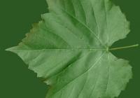 Grape Vine Leaf Texture 24