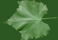 Grape Vine Leaf Texture 25
