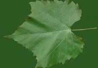 Grape Vine Leaf Texture 26