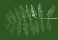 Honey Locust Tree Leaf Texture