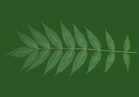 Black Walnut Leaf Texture
