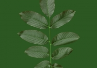 Persian Walnut Leaf Texture