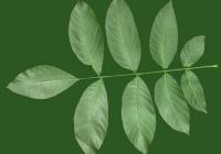 Common Walnut Leaf Texture