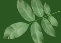 Walnut Tree Leaf Texture
