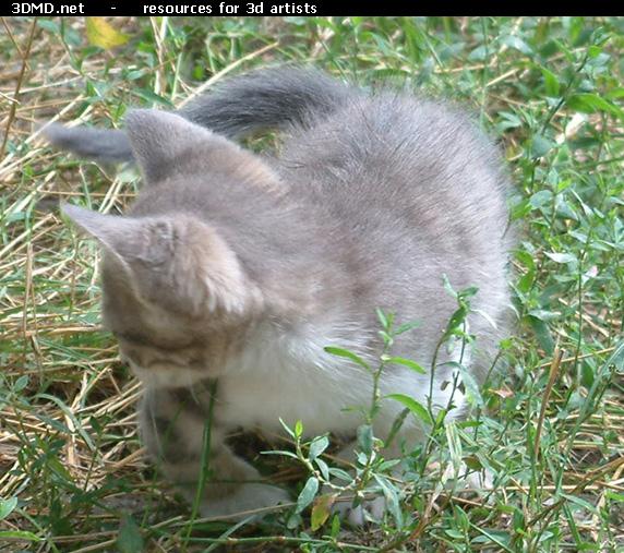 grey kitten with white paws free kitten photo image
