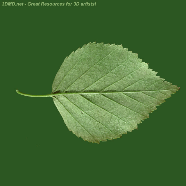 Haengebirke Blaetter additionally People From Above Boy additionally Xfrogplants moreover Hornbeam hedge as well Leaf Svg. on birch leaf