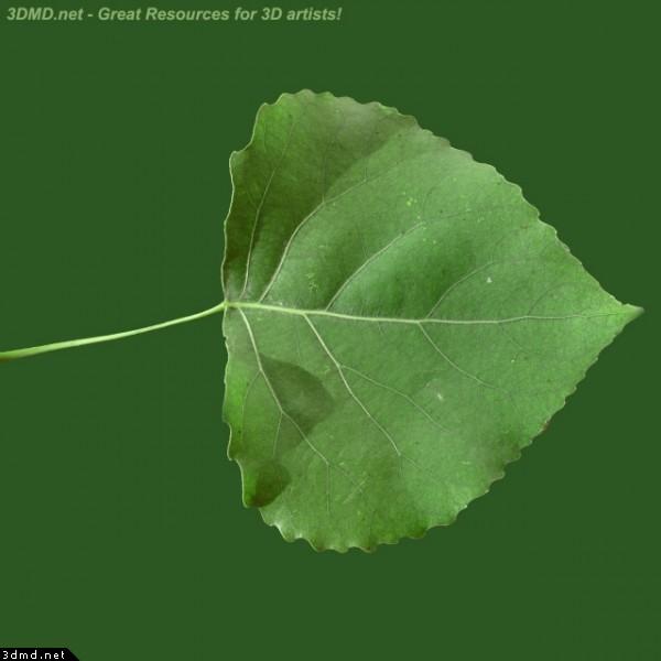 Poplar tree leaves identification